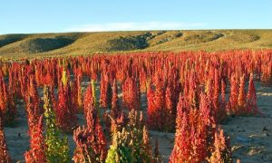 Quinoa_growing_in_Bolivia