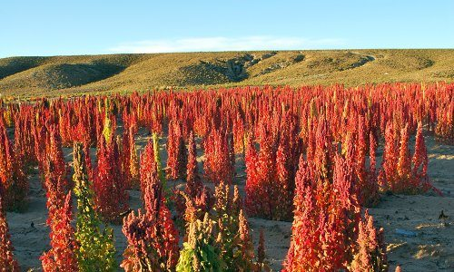 Quinoa_growing_in_Bolivia